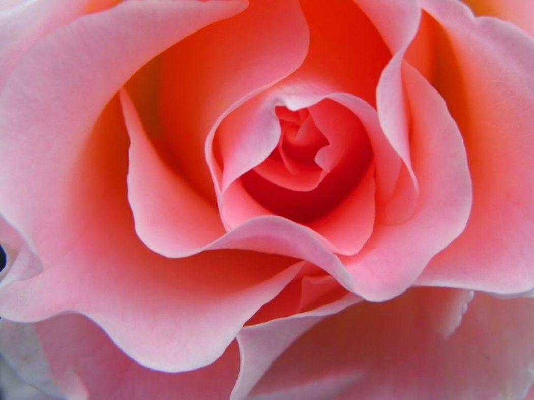 Activación Planetaria de la Hermandad de la Rosa
